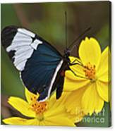 Sapho Longwing Yellow Oriented Canvas Print