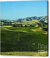 Sauvignon Blanc Vines Canvas Print