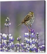 Savannah Sparrow And Nootka Lupine Canvas Print