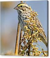 Savannah Sparrow  On A Reed Canvas Print