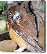 Saw-whet Owl In Conifers Canvas Print