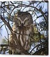 Saw Whet Owl Canvas Print