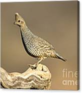 Scaled Quail Callipepla Squamata Canvas Print
