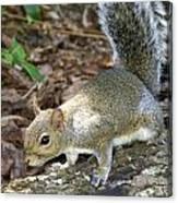 Scampering Squirrel Canvas Print