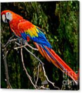 Scarlet Macaw Perched Canvas Print