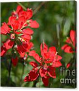 Scarlet Paintbrush. Texas Wildflowers. Castilleja_indivisa Canvas Print