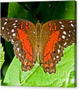 Scarlet Peacock Butterfly Canvas Print