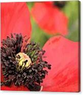 Scarlet Poppy Macro Canvas Print