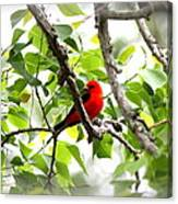 Scarlet Tanager - 11 Canvas Print