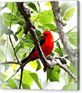 Scarlet Tanager - 19 Canvas Print