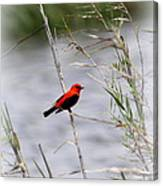 Scarlet Tanager - Coastal - Migration Canvas Print