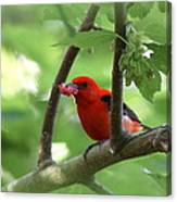 Scarlet Tanager - Fallout Canvas Print