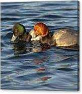 Scaup And Redhead Couple  Canvas Print