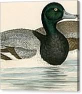 Scaup Duck Canvas Print