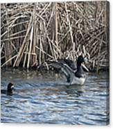 Scaup Show Off Canvas Print