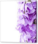 Scented Stocks Canvas Print