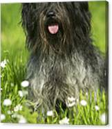 Schapendoes, Or Dutch Sheepdog Canvas Print