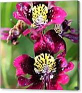 Schizanthus From The Hit Parade Mix Canvas Print