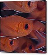 School Of Red Soldierfish Canvas Print