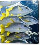 Schoolmaster Snappers Canvas Print
