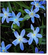 Scilla Flowers In The Morning Canvas Print