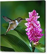 Scintillant Hummingbird Selasphorus Canvas Print