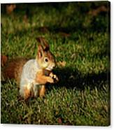 Sciurus Vulgaris In Evening Light Canvas Print
