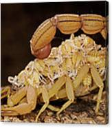 Scorpion Mother Carrying Her Brood Canvas Print