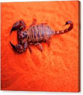 Scorpion Red Sand Sting Insect Canvas Print