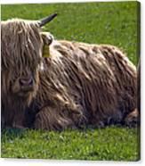Scottish Highland Cattle 3                          Canvas Print