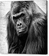 Scowling Gorilla Canvas Print