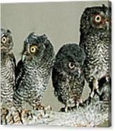 Screech Owl Chicks Canvas Print