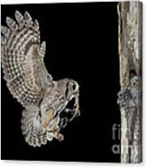 Screech Owl Feeding Owlets Canvas Print