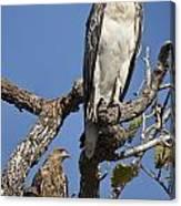 Sea Eagle And Brown Kite Sharing A Tree Canvas Print