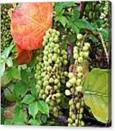 Sea Grapes And Poison Ivy Canvas Print
