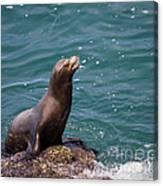 Sea Lion Posing Canvas Print