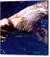 Sea Lion Swim Canvas Print