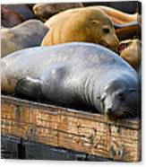 Sea Lions At Pier 39 In San Francisco Canvas Print