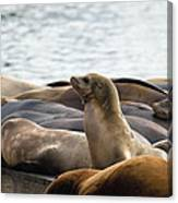 Sea Lions Sunning On Barge At Pier 39 San Francisco Canvas Print