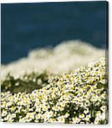 Sea Mayweed And The Sea Canvas Print