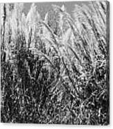 Sea Oats In The Glades Canvas Print