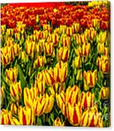 Sea Of Tulips Canvas Print