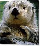 Sea Otter Swimming At Tacoma Zoo Captive Canvas Print