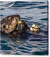 Sea Otter With Clam 2 Canvas Print