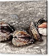 Sea Shells 2 Canvas Print