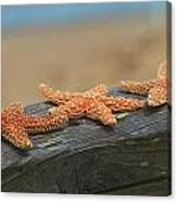Sea Star Trio Canvas Print
