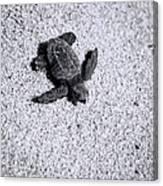 Sea Turtle In Black And White Canvas Print
