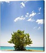 Seagrape Tree Canvas Print