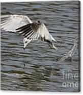 Seagull Dive Canvas Print