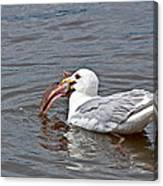 Seagull Eating Huge Fish In Water Art Prints Canvas Print